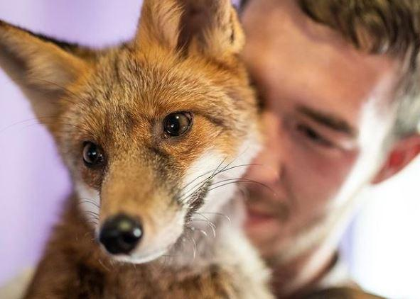 Evcil tilkisiyle sosyal medya fenomeni oldu